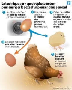 infographie sexage des oeufs